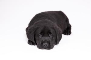 Nestfotoshoot Labradors van Actreon-10
