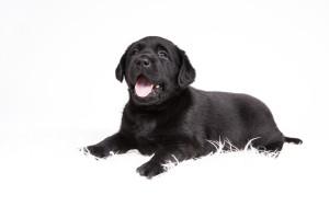 Nestfotoshoot Labradors van Actreon-54